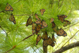 Migrating Monarchs by wheedance, photography->butterflies gallery