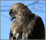 RAPTOR'S GAZE by MsCROW, photography->birds gallery