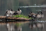 Have Your Geese in a Row by garrettparkinson, Photography->Birds gallery