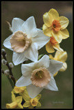 Daffs and Dofs by cynlee, photography->flowers gallery
