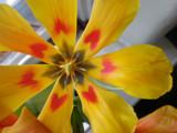 Tulip Love by madfishmonger, Photography->Nature gallery