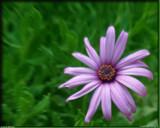 Purple Heart Energy by PhotoKandi, Photography->Flowers gallery