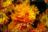 Foofy Friday 'Golden Dream' (Chrysanthemum Sphere) by corngrowth, photography->flowers gallery