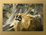 Emperor's New Teeth by boremachine, Photography->Animals gallery