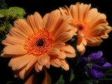 Gerbera Duo by LynEve, Photography->Flowers gallery