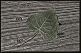 Leaf on Wood by tigger3, photography->manipulation gallery