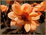 Georgia Peach Dahlia by trixxie17, photography->flowers gallery
