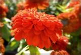 Dayglo Dahlia by trixxie17, photography->flowers gallery