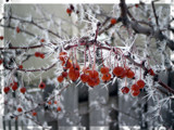 Crabapples and Ice by Pistos, Photography->Nature gallery