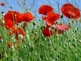 Poppies by rjh, Photography->Flowers gallery