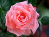 Spreading joy-26 by sahadk, Photography->Flowers gallery