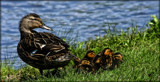 Momma, And Her Brood by tigger3, photography->birds gallery