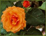 Orange Juice Rose by trixxie17, photography->flowers gallery