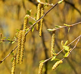Catkins by trixxie17, photography->nature gallery
