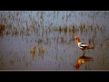 American Avocet by photoimagery, Photography->Birds gallery