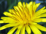 Taraxacum officinale by Hottrockin, Photography->Flowers gallery