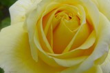 Yellow Rose by LynEve, photography->flowers gallery