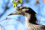 Black-Crowned Night Heron by Nikoneer, photography->birds gallery