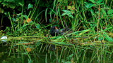 Moorhen & Chick by gizmo1, photography->birds gallery