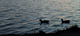 The Days End Ducks In Silhouette by tigger3, photography->birds gallery