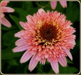 Pink Double Coneflower by trixxie17, photography->flowers gallery