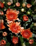 Peachy Mums by trixxie17, photography->flowers gallery