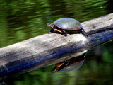 Painted Turtle by gerryp, Photography->Animals gallery