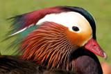 Mandarin Man by Paul_Gerritsen, Photography->Birds gallery