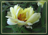 Yellow Peony by wimida, Photography->Flowers gallery