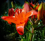 Bright Lily by LynEve, Photography->Flowers gallery