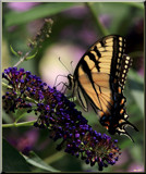The Swallowtail Butterfly_ A Calendar Garden Visitor by tigger3, photography->butterflies gallery