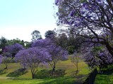 Jacaranda Park#2 (Jacaranda Series #1) by J_272004, Photography->Flowers gallery