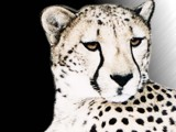 Cheetah by Crusader, photography->manipulation gallery