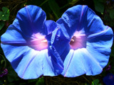 Blue Twins by OrchidLadyLinda, Photography->Flowers gallery