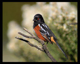 Spotted Towhee by garrettparkinson, photography->birds gallery