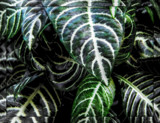 Zebra Plant by trixxie17, photography->nature gallery