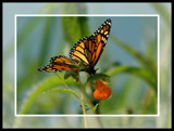 A Futterby by ladyred, Photography->Butterflies gallery