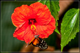 Gathering Nectar by corngrowth, photography->butterflies gallery