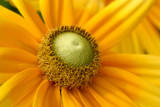 More Yellow by rahto, Photography->Flowers gallery