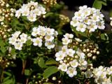'Snow White' Spirea by trixxie17, photography->flowers gallery