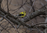 Goldfinch by Mitsubishiman, photography->birds gallery