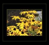 Black Eyed Beauties by verenabloo, Photography->Flowers gallery