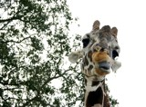 A Giraffe Hams it up for my Camera by dougieg, Photography->Animals gallery