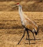 Sandhill Cranes by tigger3, photography->birds gallery