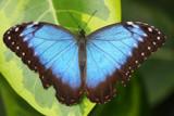 Morpho by Paul_Gerritsen, Photography->Butterflies gallery