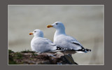 Seagull nesting near the North Sea by ppigeon, Photography->Birds gallery