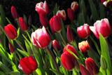 The Tulips in my garden by Paul_Gerritsen, Photography->Flowers gallery
