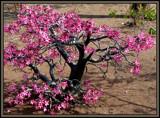 Adenium Obesum. by SusanVenter, Photography->Flowers gallery