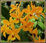 Orange Beauty Mini-Cattleyas by trixxie17, Photography->Flowers gallery