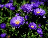 Golden Eye Aster by trixxie17, photography->flowers gallery